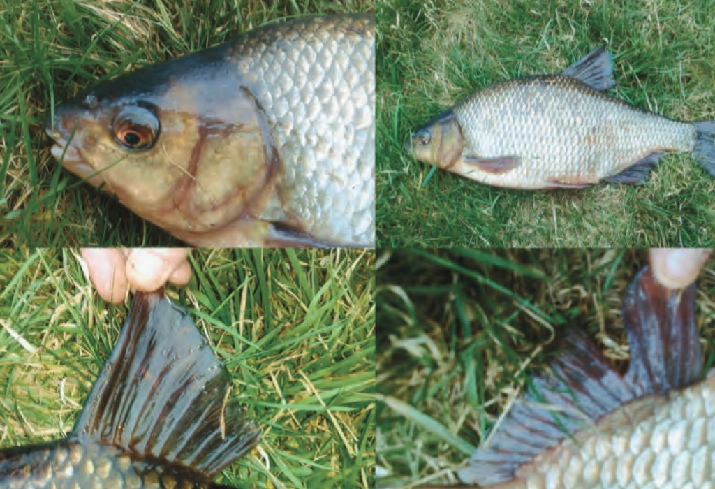 High quality Roach/Bream Hybrid identification. Images from Dubliner, Philip Brennan